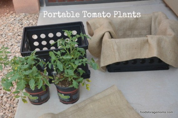 Portable Tomato Plants